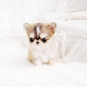 Carmel and Cream Micro Teacup Chihuahua Puppy For Sale