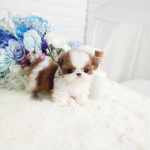 Classic Ruby and White Micro Teacup Shih Tzu Puppy For Sale