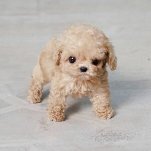 Blond Micro Teacup Poodle Puppy For Sale
