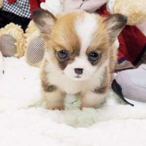 Classic Micro Corgi Puppy For Sale