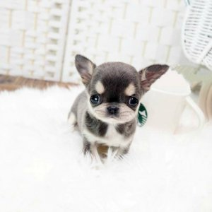 Smooth Coat Micro Teacup Chihuahua Puppy For Sale