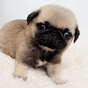 Classic Micro Teacup Pug Puppy For Sale