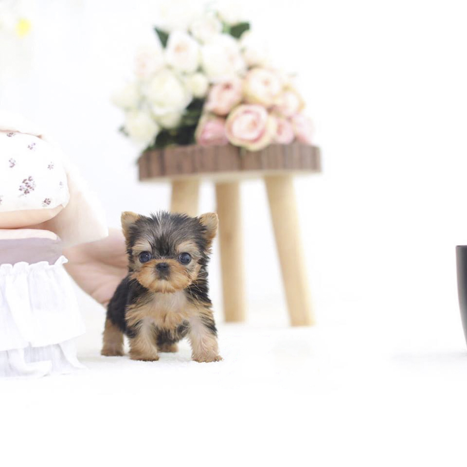 Black Tan Micro Teacup Yorkie Puppy For Sale