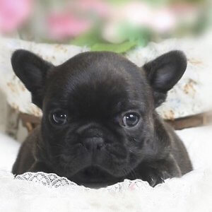 Brindle Mini French Bulldog Puppy