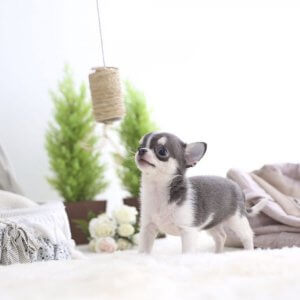 Blue Tri Micro Teacup Chihuahua Puppy For Sale