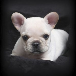 White Mini French Bulldog Puppy For Sale