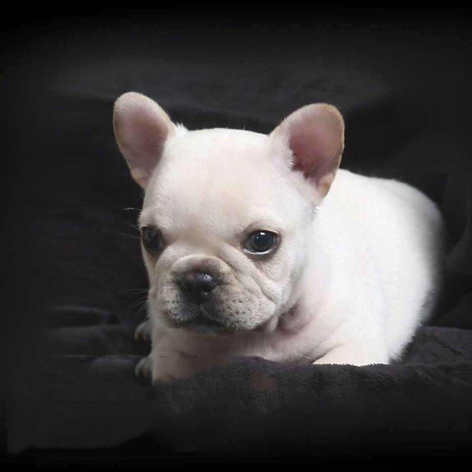 Rocket White Mini French Bulldog