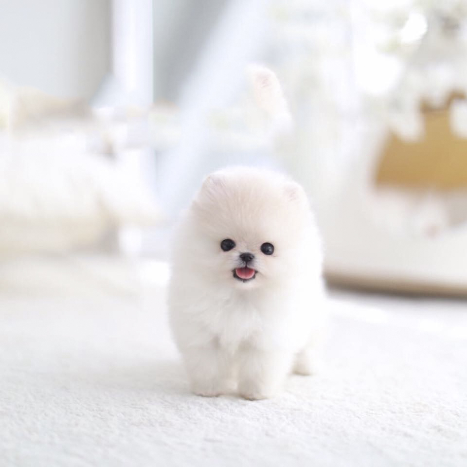 Jasmine Tiny Teacup Pomeranian - Tiny Teacup Pups | Designer Puppies | 1-323-498-4529.
