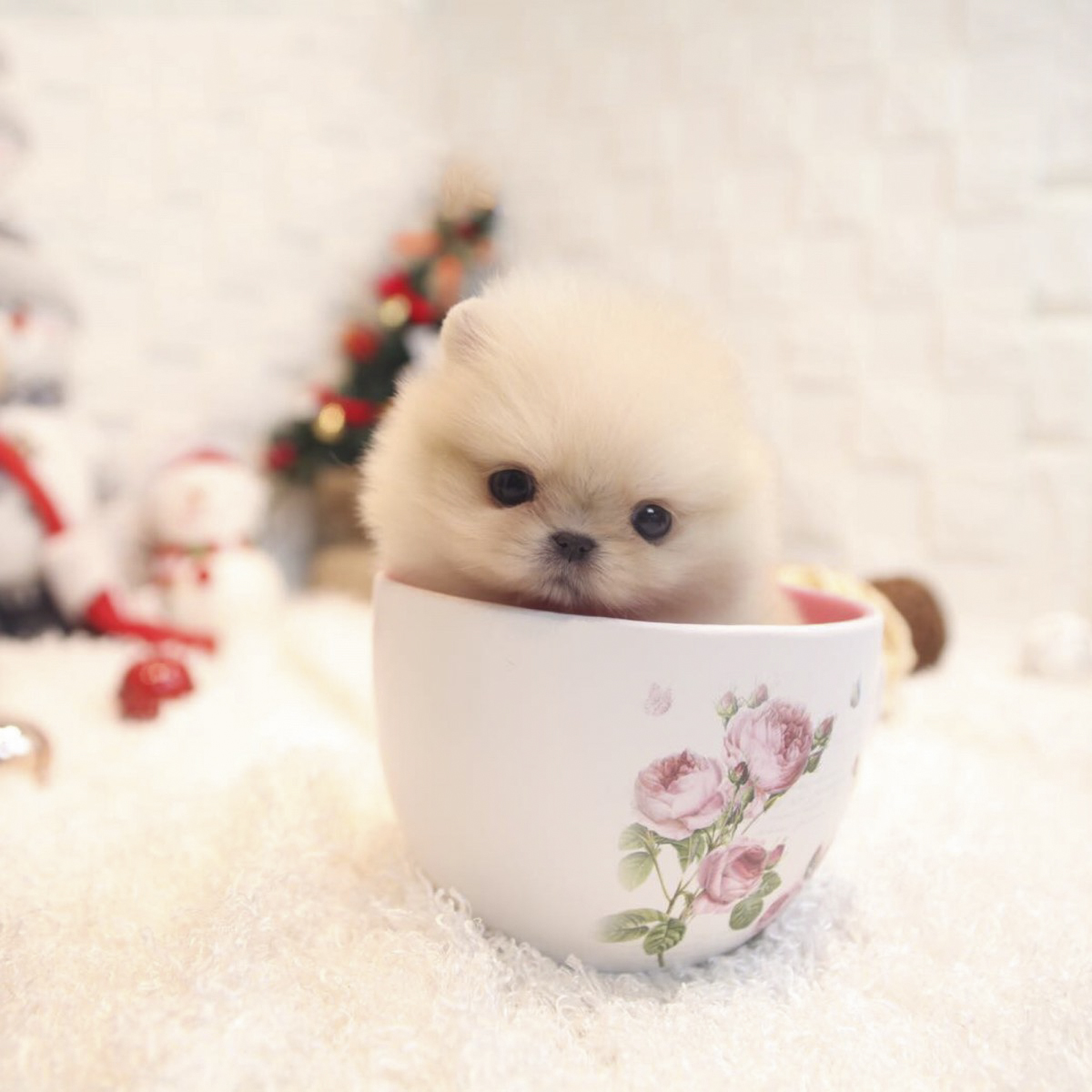 Pictures Of Teacup Dogs Dogs