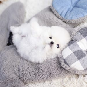 White Micro Teacup Pomeranian Puppy For Sale
