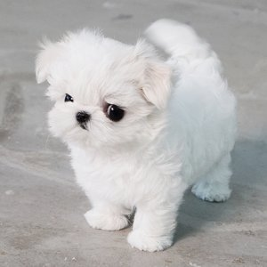 Ice White Micro Teacup Maltese Puppy For Sale