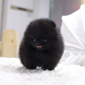 Micro Teacup Pomeranian For Sale
