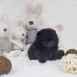 Black Micro Teacup Pomeranian Puppy For Sale