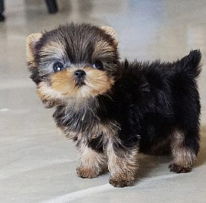 Classic Micro Teacup Yorkie Puppy For Sale
