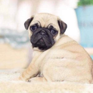 Fawn Black Micro Teacup Pug Puppy For Sale