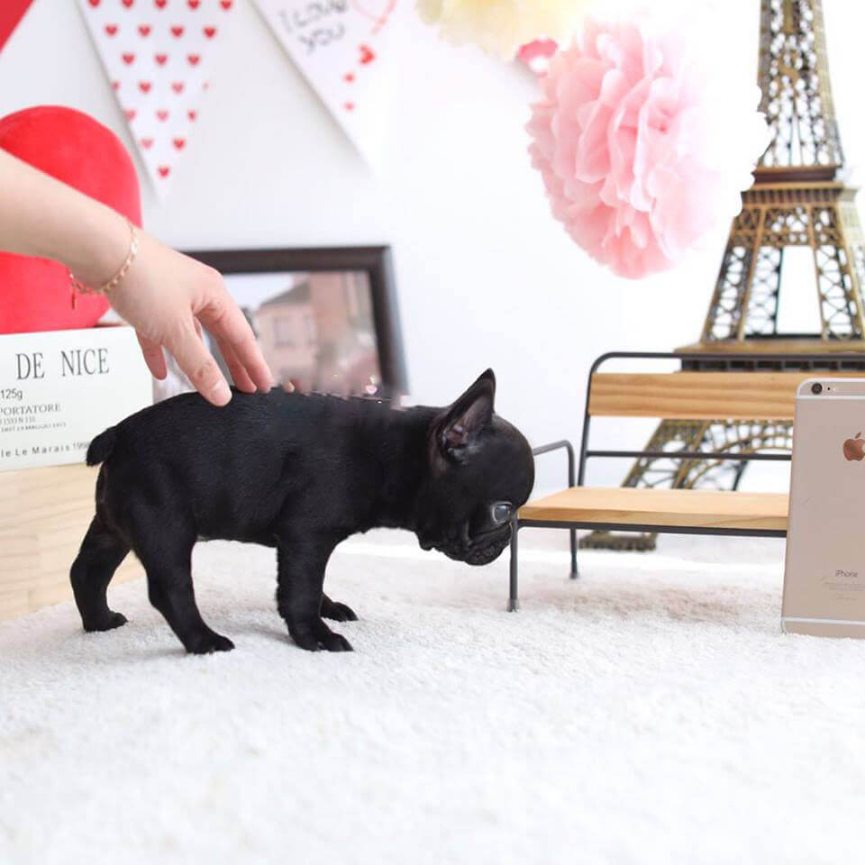 Miss Tracey Mini Black French Bulldog