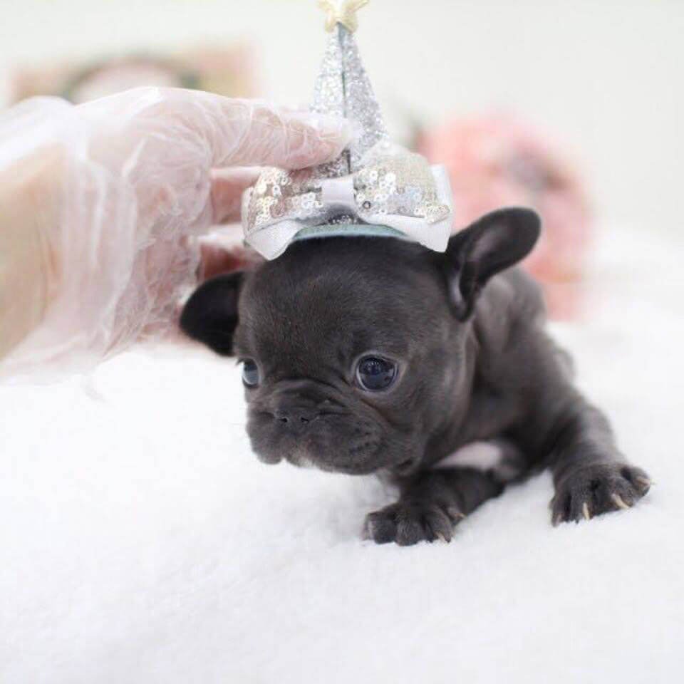 Ophelia Mini Blue French Bulldog