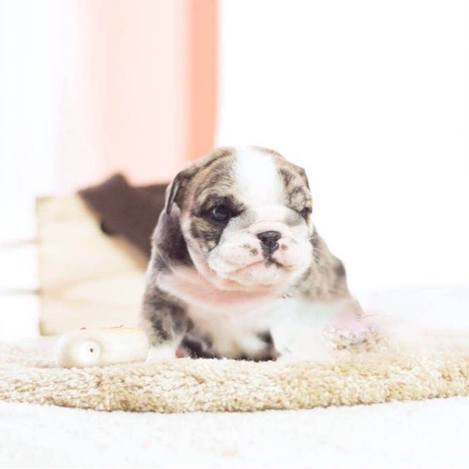 Tank Mini Fawn Brindle English Bulldog