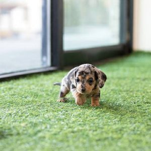 Classic Tiny Teacup Dachshund Puppy For Sale