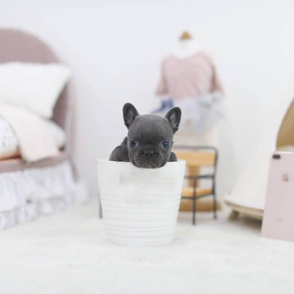 Rhinestone Mini Blue French Bulldog