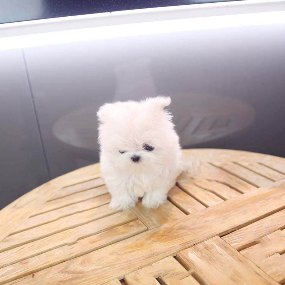 Addie White  Micro Teacup Maltese