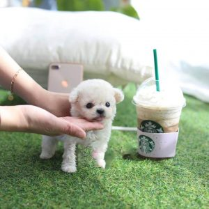 Light Cream Micro Teacup Poodle Puppy For Sale