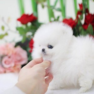 Antique White Micro Teacup Pomeranian Puppy For Sale