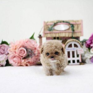 Cream & White Micro Teacup Poodle Puppy For Sale
