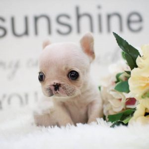Light Cream Mini French Bulldog Puppy For Sale