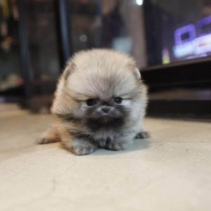Sable Micro Teacup Pomeranian Puppy For Sale