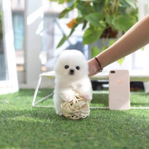 Ice White Micro Teacup Pomeranian Puppy For Sale