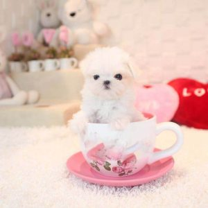 White Micro Teacup Maltese Puppy For Sale