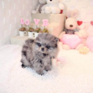 Merle Micro Teacup Pomeranian Puppy For Sale