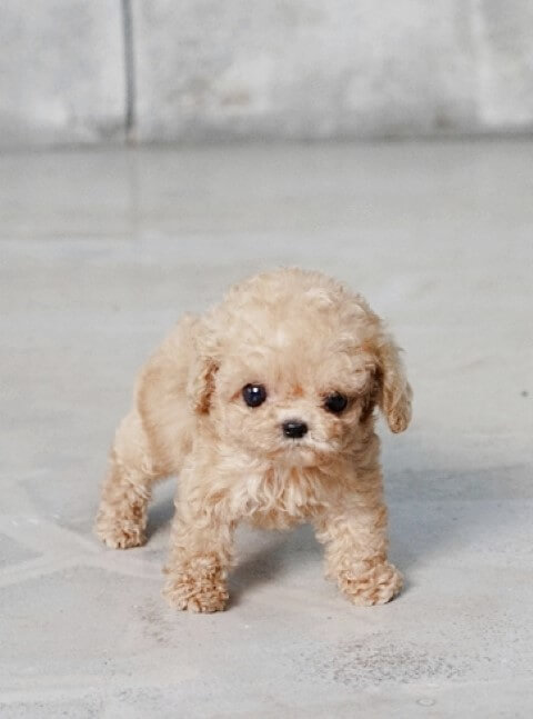 cute puppies that stay small image search results auto