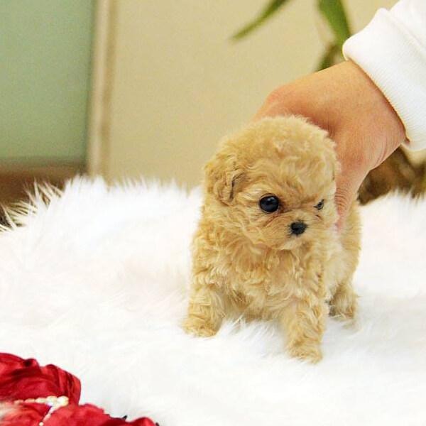 a personal examination of the old teacup poodle I reserve the right to give a final price on pups until they are 6-8 weeks old teacup poodles 2 one more deworming for good measure with the first vet exam.