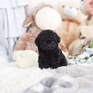 Black Micro Teacup Poodle Puppy For Sale