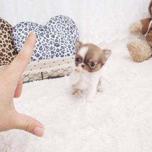 Chocolate Micro Teacup Chihuahua Puppy For Sale