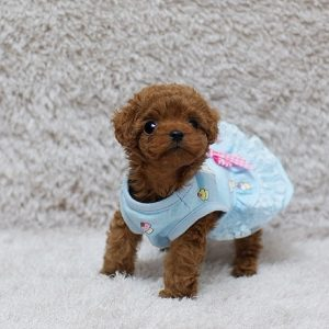 Red Micro Teacup Poodle Puppy For Sale