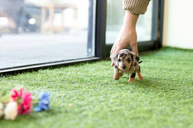 Jax Tiny Teacup Dachshund Tiny Teacup Pups Designer Puppies 1