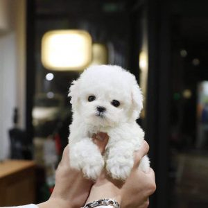 White Micro Teacup Bichon Puppy For Sale