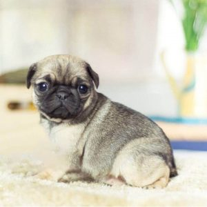 Sable Micro Teacup Pug Puppy For Sale