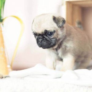 Light Sable Micro Teacup Pug Puppy For Sale