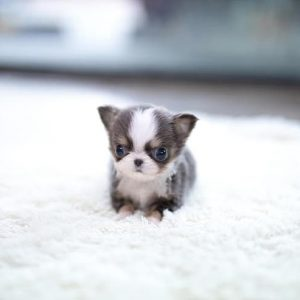 Classic Micro Teacup Chihuahua Puppy For Sale