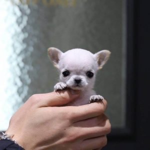 White Micro Teacup Chihuahua Puppy For Sale