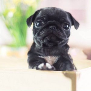 Midnight Black Micro Teacup Pug Puppy For Sale