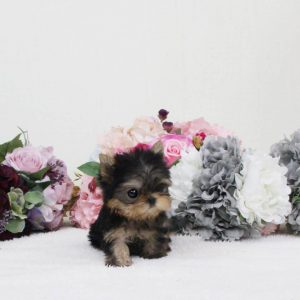 Black & Tan Micro Teacup Yorkie Puppy For Sale