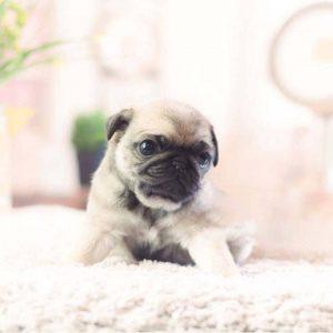 Primoz Author At Tiny Teacup Pups Designer Puppies 1 323 498 4529