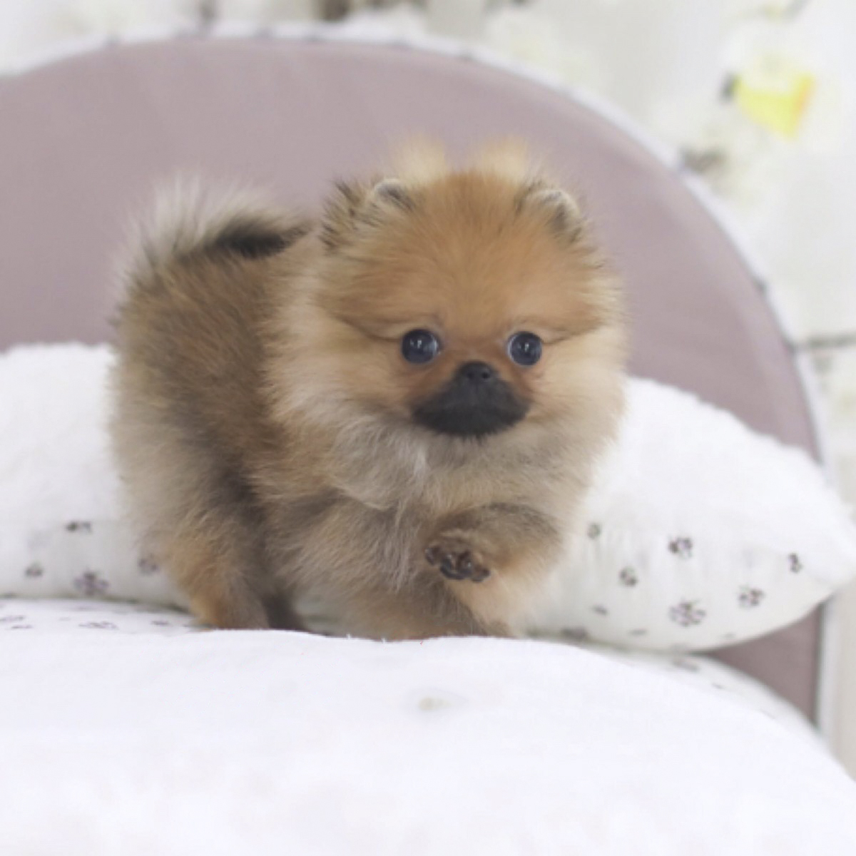 Marquee Teacup Pomeranian - Tiny Teacup Pups