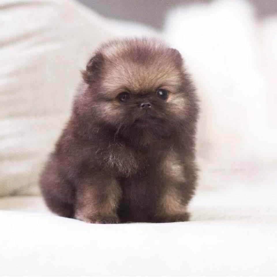 Bronze Micro Teacup Pomeranian Tiny Teacup Pups