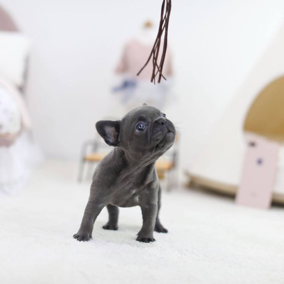 Rebel Blue Mini French Bulldog Tiny Teacup Pups